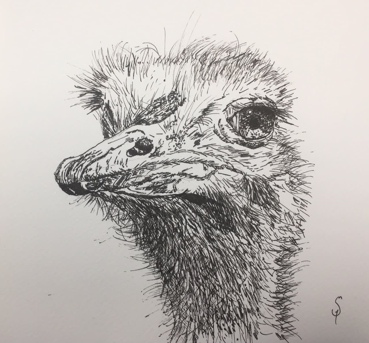 Ostrich - pen and ink